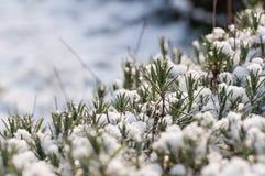 Nahaufnahme des schneebedeckten Lavendels Stockfoto