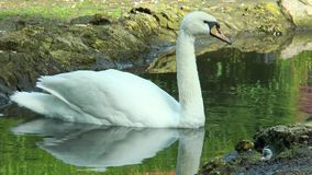 Nahaufnahme des Schwans schwimmend in einen Teich stock footage