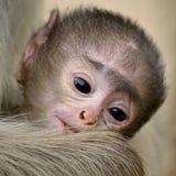 Nahaufnahme des schwarz-gesichtigen Gibbons des Babys in Nationalpark Ranthambore Lizenzfreie Stockfotografie