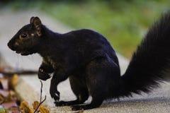 Nahaufnahme des schwarzen Eichhörnchens mit Nuss in seinem Mund stockbilder