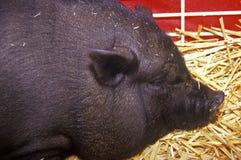 Nahaufnahme des schwarzen Schweins im Heu, Streichelzoo, Los Angeles County-angemessener Hof, Pomona, CA stockfoto