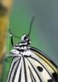 Nahaufnahme des Sitzens des strukturierten tropischen Schwarzweiss-Schmetterlinges Stockbild