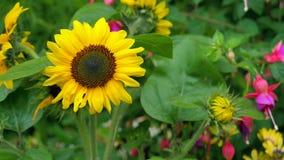 Nahaufnahme des Sonnenblumentages bevor dem Bersten in Blüte Lizenzfreies Stockfoto