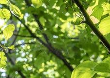 Nahaufnahme des Spinnennetzes im Frühjahr Wald stockfoto