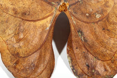 Nahaufnahme des Stamm-Zubehörs und der Adern des trockenen Blattes Stockfoto