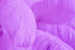 Nahaufnahme des Stapels der purpurroten flaumigen Federn Stockbild
