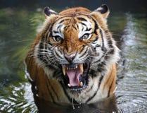 Nahaufnahme des Tigers am Zoo stockfotos