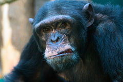 Nahaufnahme des verärgerten Schimpansen Stockbilder