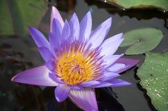 Nahaufnahme des violetten gelb-mittleren Nymphaealotos stockfoto