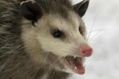 Nahaufnahme des Virginia-Opossums Stockfotos