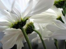 Nahaufnahme des weißen Gänseblümchens lizenzfreie stockbilder