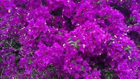 Nahaufnahme des weißen Jasmins in einer vollen Blüte des Frühlinges stock video footage