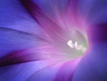 Nahaufnahme des weich belichteten blauen und purpurroten Morgens Glory Flower Lizenzfreie Stockbilder