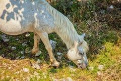 Nahaufnahme des Weiden lassens des Pferds Stockbild