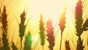Nahaufnahme des Weizens auf dem Gebiet gegen einen Hintergrund des goldenen Sonnenuntergangs Bearbeitung und Ernten stock footage