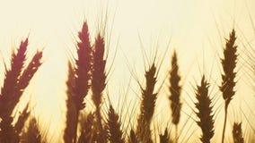 Nahaufnahme des Weizens auf einem Gebiet auf einem Sonnenunterganghintergrund Bearbeitung und Ernten stock video