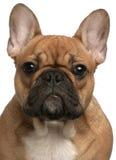 Nahaufnahme des Welpen der französischen Bulldogge Lizenzfreies Stockbild