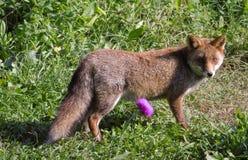 Nahaufnahme des wilden roten Fuchses auf Wiesenhintergrund, wildes Tier im Park lizenzfreie stockfotos