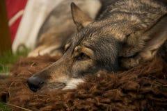 Nahaufnahme des Wolfhundes liegend auf Wolldecke Stockfotografie