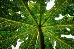 Nahaufnahme, Detail und Beschaffenheit der Papaya treiben, wunderbarer grüner Hintergrund Blätter Lizenzfreie Stockbilder