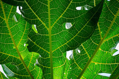 Nahaufnahme, Detail und Beschaffenheit der Papaya treiben, wunderbarer grüner Hintergrund Blätter Lizenzfreie Stockfotos