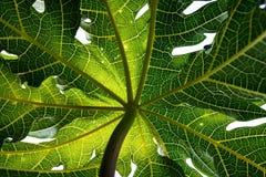 Nahaufnahme, Detail und Beschaffenheit der Papaya treiben, wunderbarer grüner Hintergrund Blätter Stockfotografie