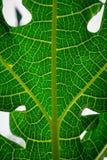 Nahaufnahme, Detail und Beschaffenheit der Papaya treiben, wunderbarer grüner Hintergrund Blätter Lizenzfreies Stockfoto