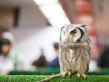 Nahaufnahme die Eule war ein Seil, das an seinem Bein in der Tiermesse gebunden wurde Stockbild
