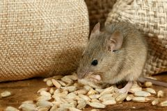 Nahaufnahme die Maus isst das Korn nahe den Leinensäcken auf dem Boden des Speiseschranks stockfotografie