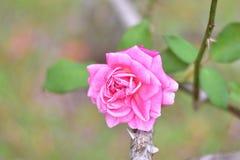 Nahaufnahme die schöne Rosarose Lizenzfreie Stockbilder