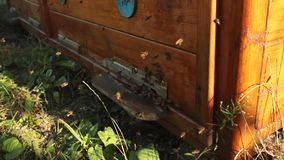 Nahaufnahme, die viele Bienen nahe dem Eingang zum hölzernen Bienenstock fliegen Die Bienen kriechen heraus und klettern in den B stock video