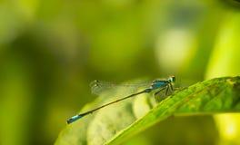 Nahaufnahme eine grüne Libelle Calopteryx-Jungfrau auf grünem Blatthintergrund Stockfotos