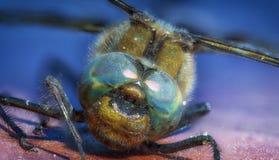 Nahaufnahme eine grüne Libelle Calopteryx-Jungfrau auf grünem Blatthintergrund Lizenzfreie Stockfotografie