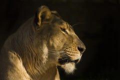 Afrikanisches Löwin closup Lizenzfreies Stockfoto