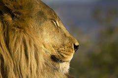 Afrikanisches Löwin closup Lizenzfreies Stockbild