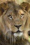 Afrikanisches Löwin closup Stockbild