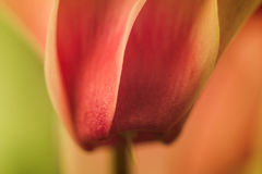 Nahaufnahme einer Alpenveilchenblume Lizenzfreie Stockfotos