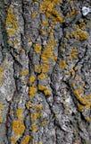 Nahaufnahme einer Baumrinde umfasst mit gelber Flechte Lizenzfreie Stockfotos