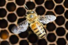 Nahaufnahme einer Biene auf Bienenwabe im Bienenhaus Lizenzfreie Stockfotografie