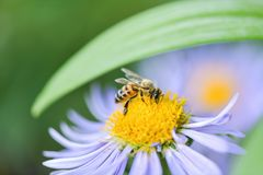 Nahaufnahme einer Biene auf einer purpurroten Blume sammelt Bl?tenstaub und Nektar stockfotografie
