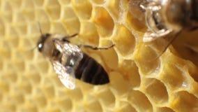 Nahaufnahme einer Biene, die über Bienenwaben auf einem Holzrahmen kriecht Bienen setzten Honig in Bienenwaben ein stock video