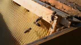 Nahaufnahme einer Biene, die über Bienenwaben auf einem Holzrahmen kriecht Bienen setzten Honig in Bienenwaben ein stock video footage