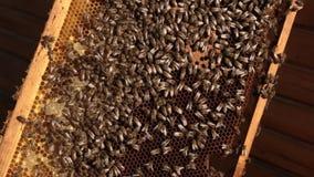 Nahaufnahme einer Biene, die über Bienenwaben auf einem Holzrahmen kriecht Bienen setzten Honig in Bienenwaben ein stock footage