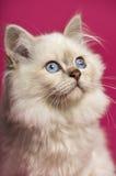 Nahaufnahme einer Birman-Katze, oben schauend Lizenzfreies Stockbild