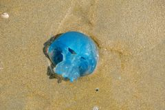 Nahaufnahme einer blauen Tran-Qualle, angeschwemmt im Sand der niederländischen Küste stockfotos