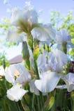 Nahaufnahme einer Blume von Schwertlilie Iris germanica Blumenbeet von Iris Iridarius Stockfoto