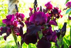 Nahaufnahme einer Blume von Schwertlilie Iris germanica Blume ist Lizenzfreie Stockfotos