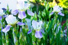 Nahaufnahme einer Blume von Schwertlilie Iris germanica Blume ist Lizenzfreie Stockbilder