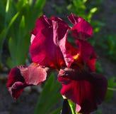 Nahaufnahme einer Blume von Schwertlilie Iris germanica Blume ist Stockbild