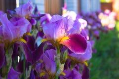 Nahaufnahme einer Blume von Schwertlilie Iris germanica Blume ist Stockbilder